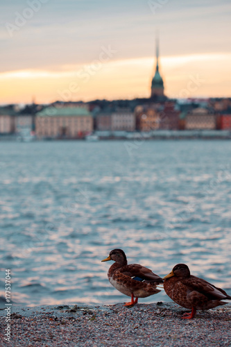 Fotobehang Stockholm Stockholm. Cityscape image of Stockholm. Ducks in the foreground