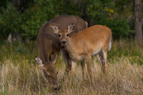 Fotobehang Hert A Young Doe Looks up While Grazing with Its Mother