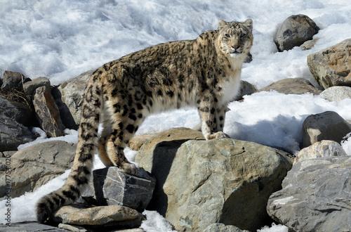 Fototapeta Snow Leopard