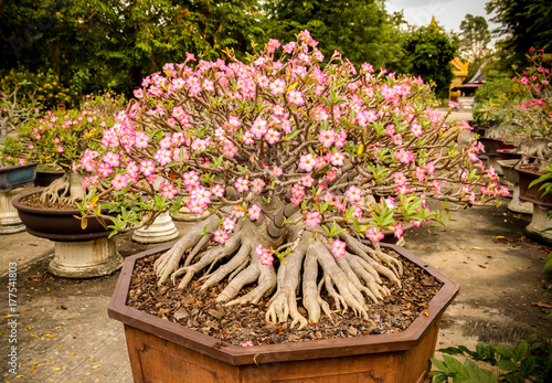 Fotobehang Azalea Adenium full blossoming trees planted in pots