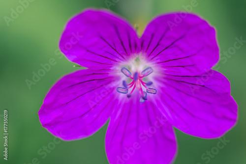 Violet flower close up macro Poster