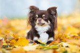 brown chihuahua dog lying down on fallen leaves