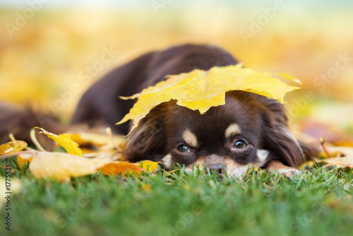 chihuahua dog lying down in fallen leaves Poster