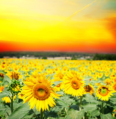 Field of colorful fresh growing sunflowers at suset with otange sky