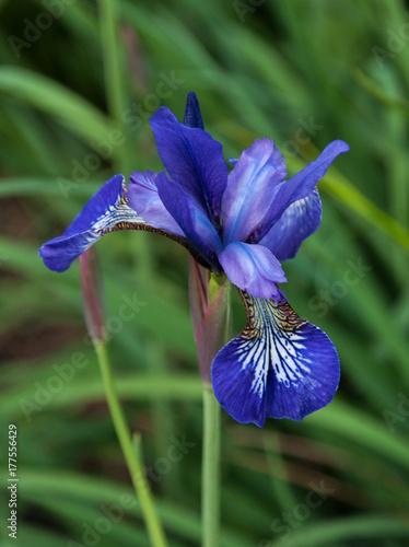 Fotobehang Iris Blue iris