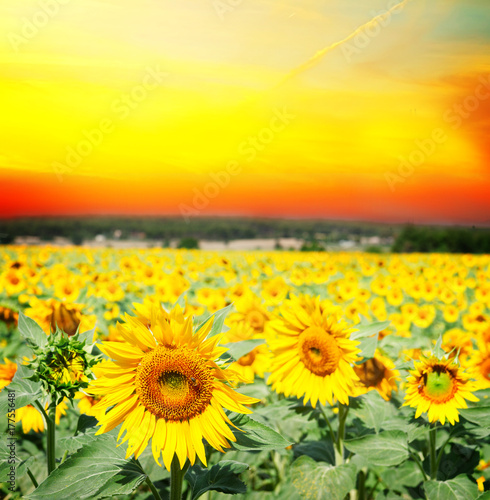 Fotobehang Geel Field of colorful fresh growing sunflowers at suset with otange sky