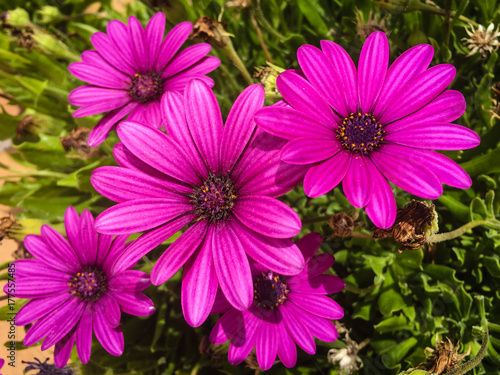 Overhead capture of vibrant pink purple flower in bloom - 177557485