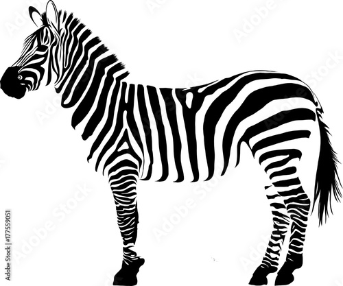 Zebra - 177559051