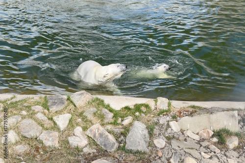 Aluminium Ijsbeer polar bears (mother and cub)