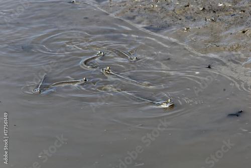 Anableps anableps ou poisson gros yeux sur les rives de la Rivière au vieux port Poster