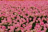 Champ de tulipes de couleur rose clair. - 177566694