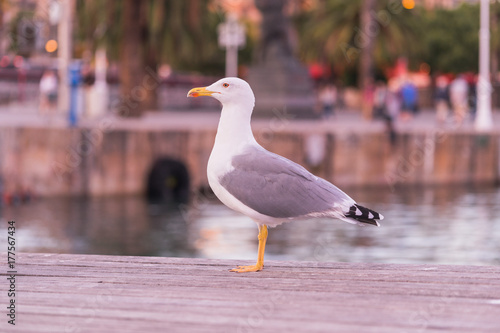 Fotobehang Barcelona Thoughtful seagull stands on the waterfront of Barcelona and waiting for a little piece of bread from tourists. Blurred water and palms in the background. Larus argentatus.