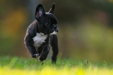 Purebred french bulldog puppy running on a grass field