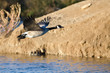 Canada Goose Flying Low Over the Autumn Pond