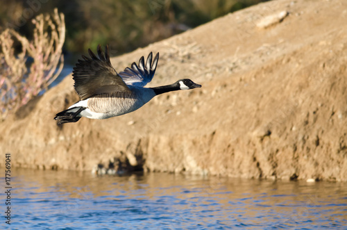 Fotobehang Canada Canada Goose Flying Low Over the Autumn Pond
