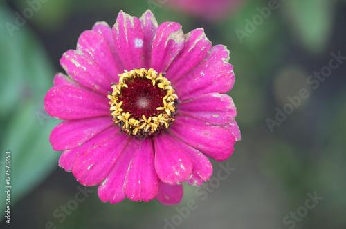 Fotobehang Gerbera flower