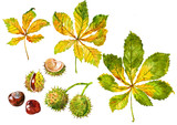 Chestnut. Leaves and nut. Set. Watercolor. - 177602837