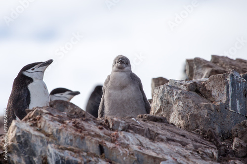 Fotobehang Lavendel A chinstrap penguin chick in the south shetland islands poses for the camera, antarctica.