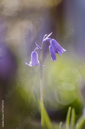 Aluminium Iris Close up of English Bluebells in a woodland surrounding with selective focus in a vertical format