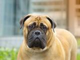 Dog Bullmastif - Head Portrait - 177619049
