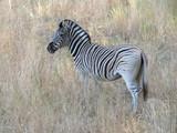 Zebra - 177619433