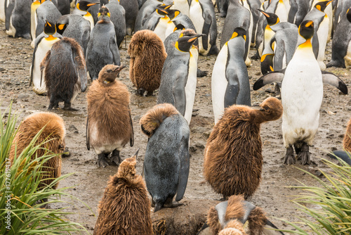 Fotobehang Antarctica King penguin colony (Aptenodytes patagonicus) with chicks in foreground, on Salisbury Plain, Bay of Isles on the north coast of South Georgia