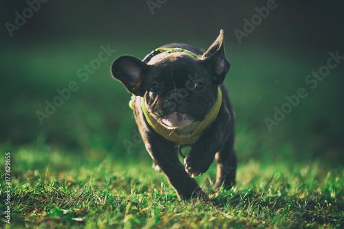 Deurstickers Franse bulldog Purebred french bulldog puppy running on a grass field