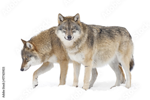 Two Gray wolves isolated on white Poster