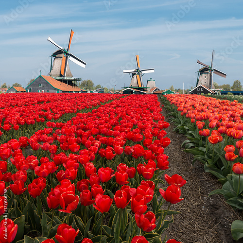 Staande foto Rood traf. Dutch windmill over red tulips field in spring, Netherlands