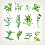 Culinary herbs collection watercolor illustration with clipping paths - 177636858