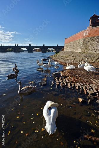 Swan Group on the Vltava River in Prague Poster