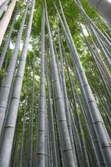 The bamboo groves of Arashiyama, Kyoto, Japan. Arashiyama is a district on the western outskirts of Kyoto