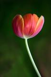 Tulip - 177640425