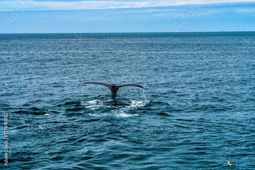 Humpback Whale Provincetown, Cape Cod, Massachussetts, US Poster