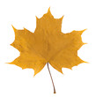yellow maple leaf on white isolated background