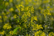Leinwanddruck Bild - Schwarze Senf (Brassica nigra)