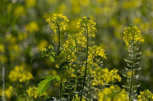 Leinwanddruck Bild Schwarze Senf (Brassica nigra)