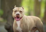Portrait of a pit bull - 177662818