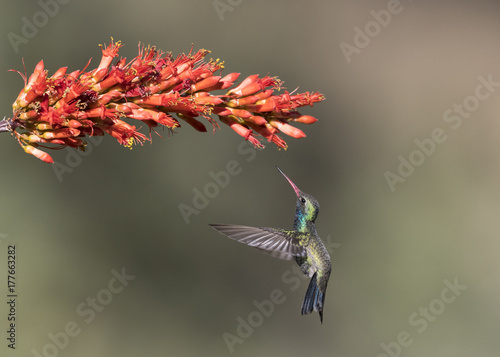 Fotobehang Arizona Broad-billed Hummingbird