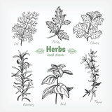 Culinary herbs vector hand drawn illustration - 177669855