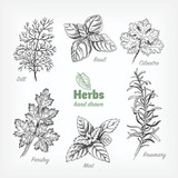 Culinary herbs vector hand drawn illustration - 177670017