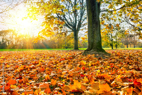 Poster Oranje eclat Sunny autumn landscape with golden maple trees in the park
