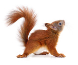 Eurasian red squirrel. - 177674424