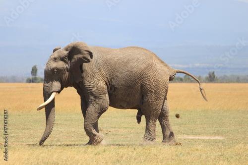 elephant grazing Poster