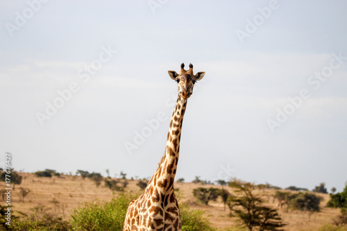 giraffe close up Poster