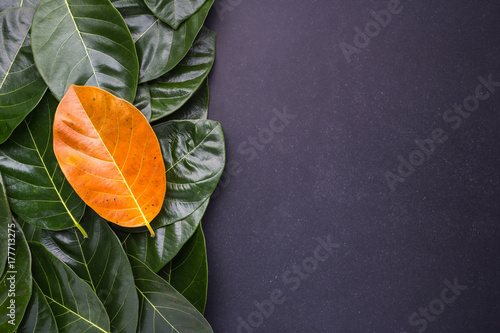 Poster Different color and of the jackfruit tree leaves dark green and yellow on black stone background