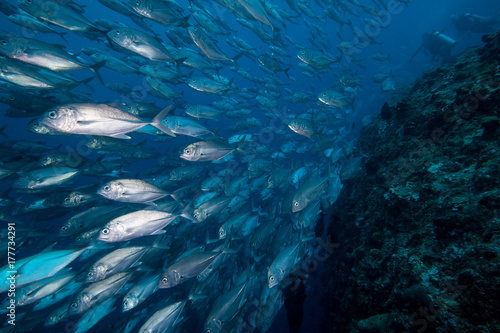 School of big eye trevally fish swimming against a current. Poster