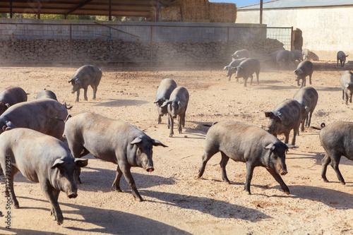 Foto op Plexiglas Cappuccino Iberian pigs