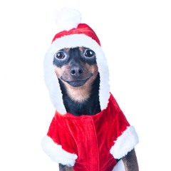 Funny puppy, dog in Santa costume, isolated white