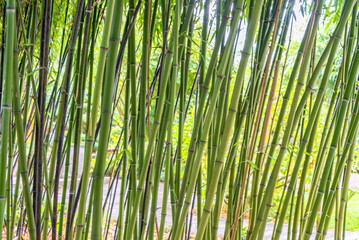 Green bamboos background
